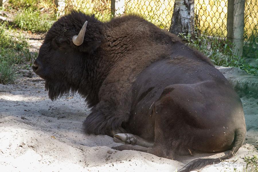 Дежурный бизон