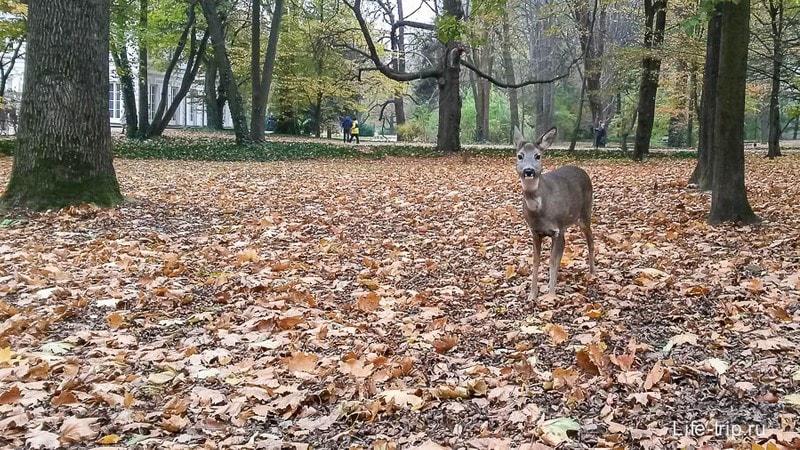 Олень в парке Лаезнки