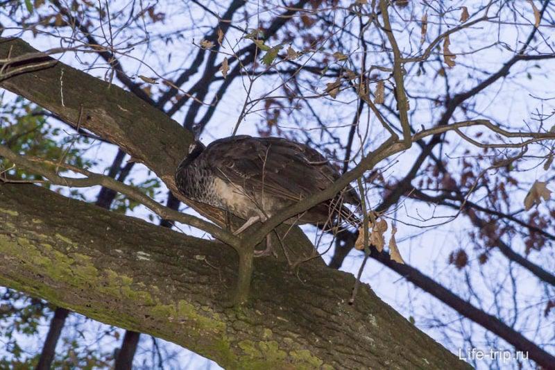 Оказывается павлины легко запрыгивают на деревья и по ходу спят там