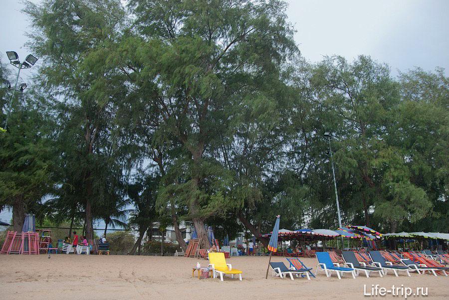 Вдоль пляжа растут казуарины