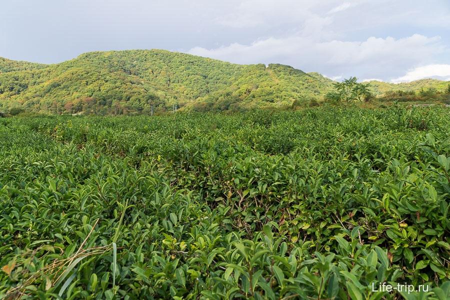 Чайные плантации по пути