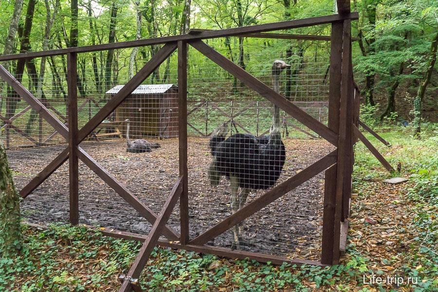 Грязные страусы на страусиной ферме