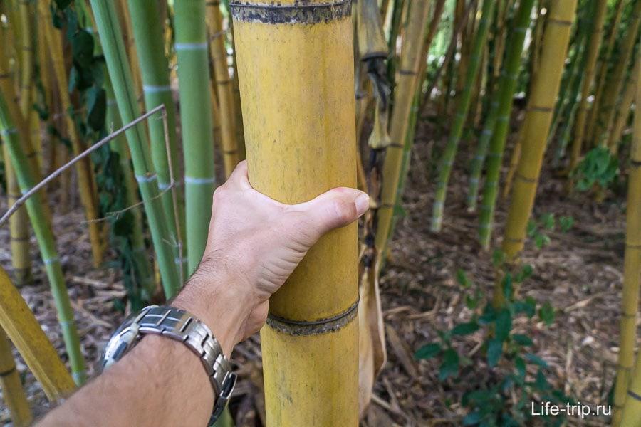 Желтый бамбук
