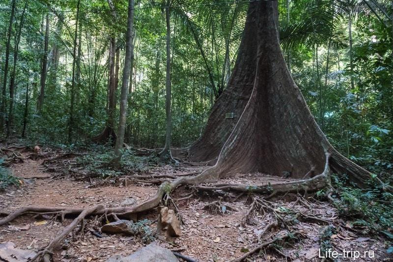 После этого дерева можно уже не ходить - там только джунгли