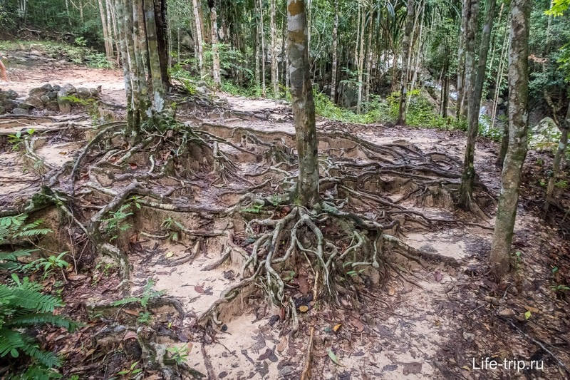 Сразу начинаются джунгли и вот такие корни