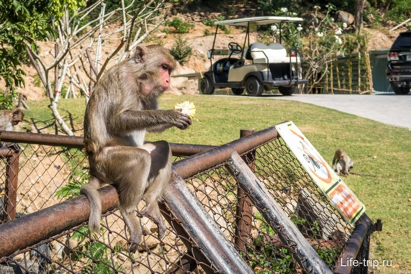 Дикая обезьяна на территории зоопарка