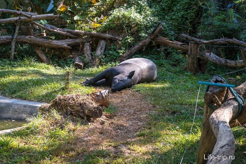 Тапир отдыхает