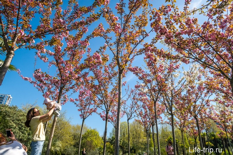 Кооперативный Сквер - когда цветет сакура в Сочи