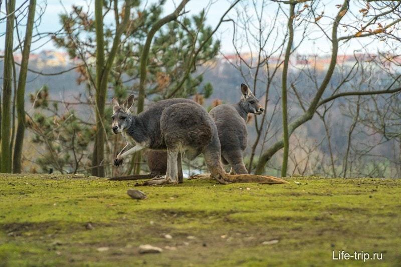 Кенгуру в Пражском зоопарке