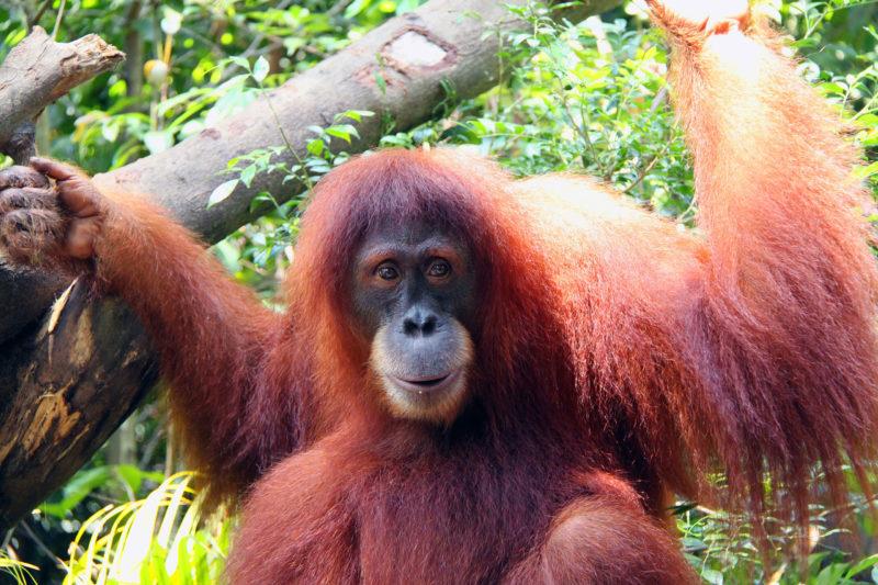 Орангутанг, в компании с которым можно позавтракать, если только он сам все не слопает/commons.wikimedia/Lionel Leo