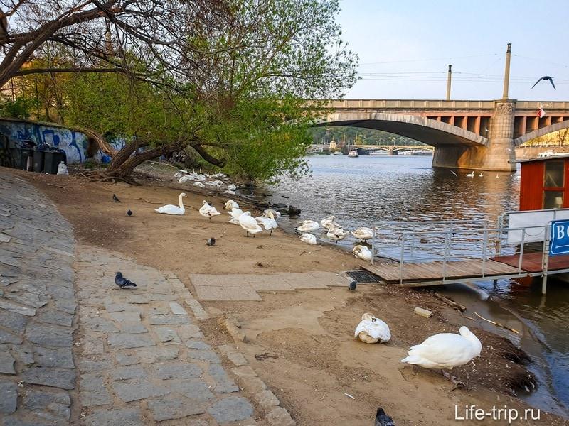 Лебеди в Праге и где их покормить