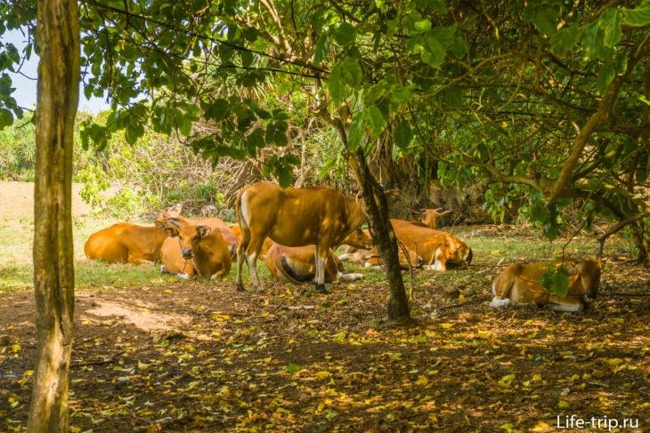Бог весть как попавшие сюда коровы