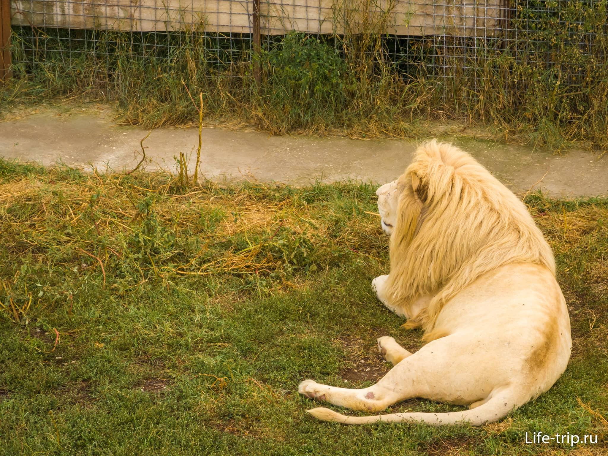 Белый лев - редчайший экземпляр хищника