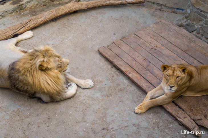 Чтобы привлечь внимание львов еще надо постараться