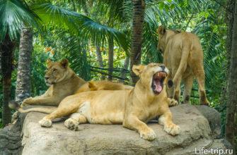 Африканские львы.
