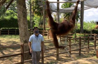 Захватил последние секунды выступления орангутангов